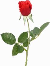 Roos 38 cm.