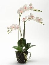 Phalaenopsis met kluit 75 cm