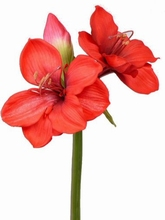 Amaryllis 60 cm