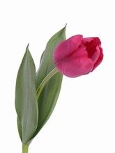 Tulp 48 cm