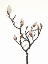 Magnolia 73 cm