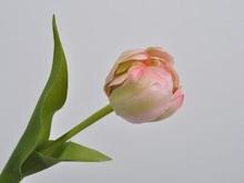 Tulp 37  cm