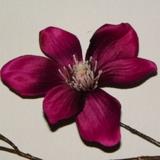 Magnolia 30 cm