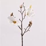 Magnolia 40 cm.