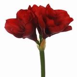 Amaryllis 38 cm