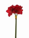 Amaryllis 72 cm